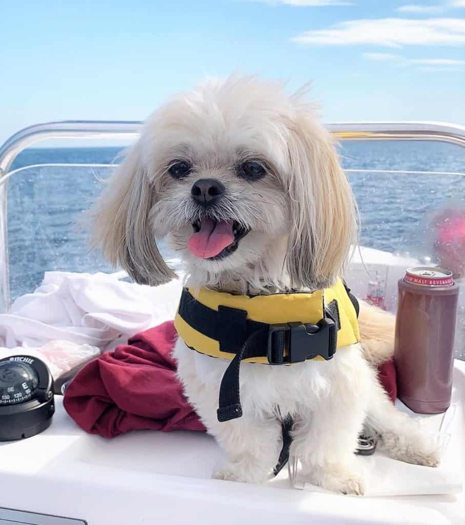 Havanese Pekingese Mix (Havapeke) sitting on a boat