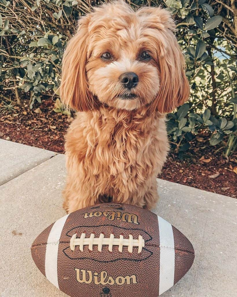 Havanese Poodle Mix (Havapoo) with a rugby football