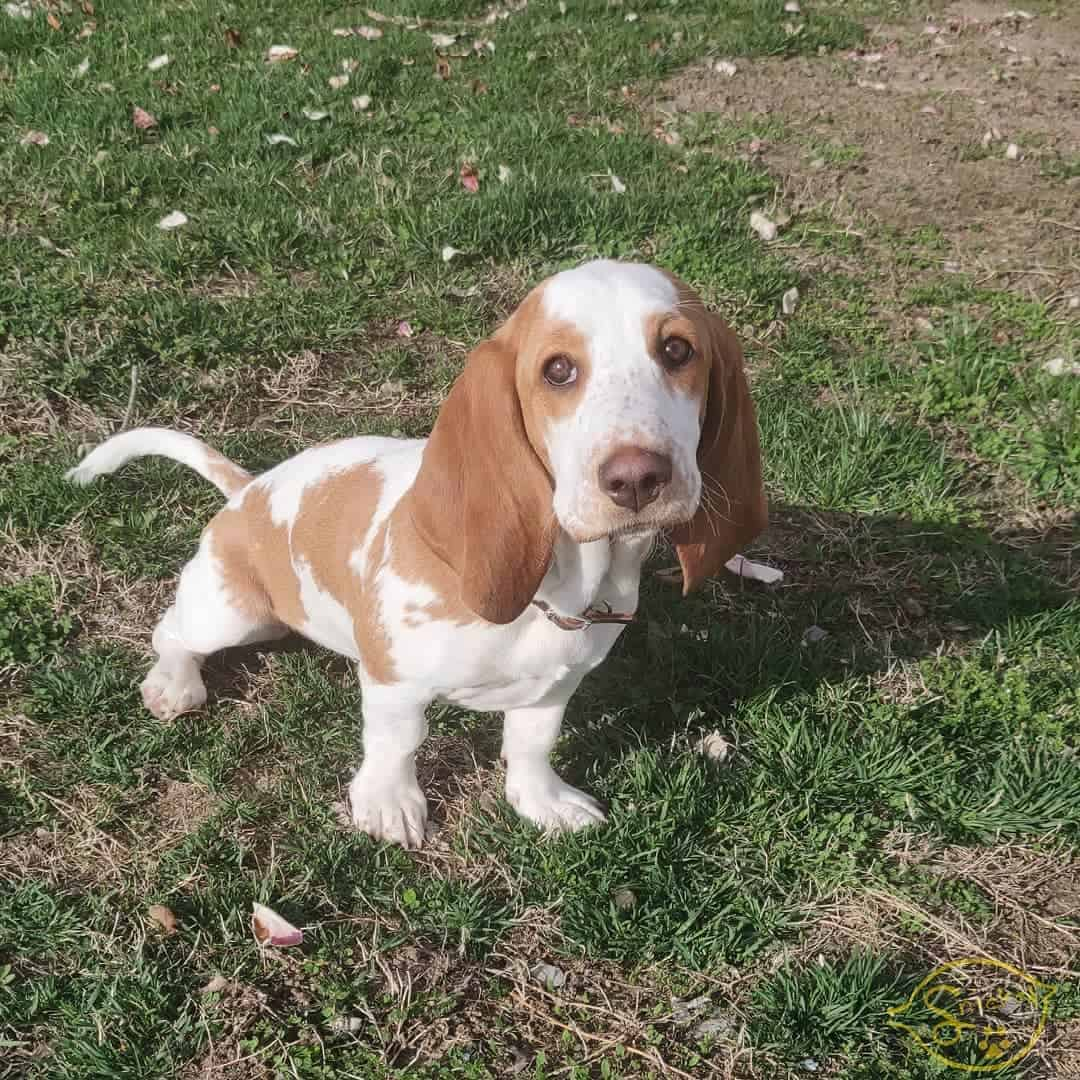 Lemon and white Basset Hound puppy