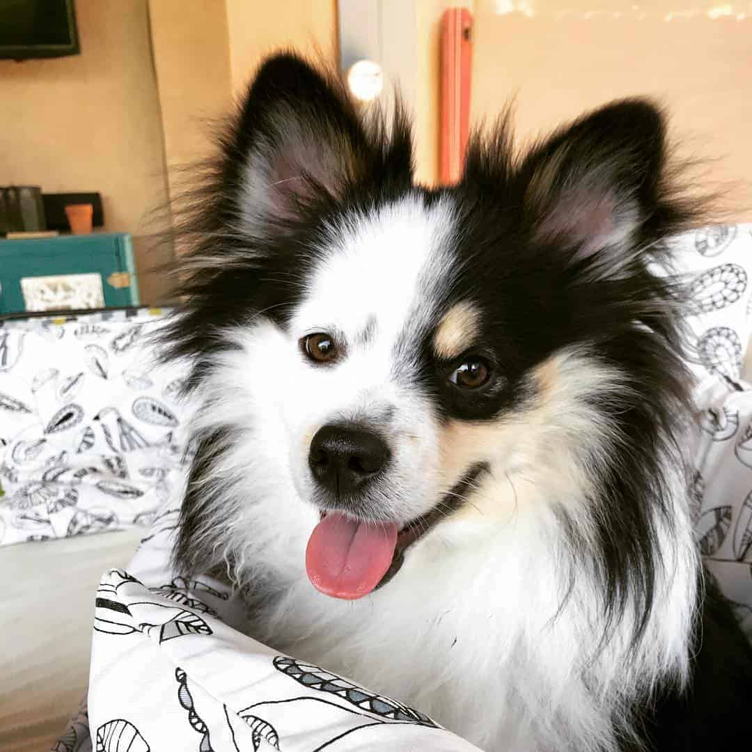 Pomeranian Aussie Mix (Aussie Pom) with sweet smile
