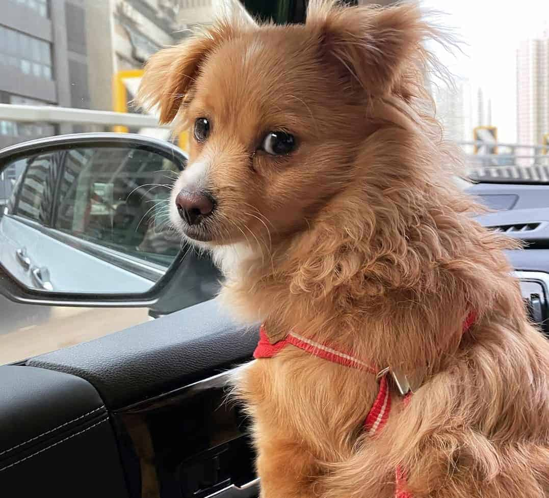 Pomeranian Cavalier King Charles Spaniel Mix (Cavapom) sitting in a car