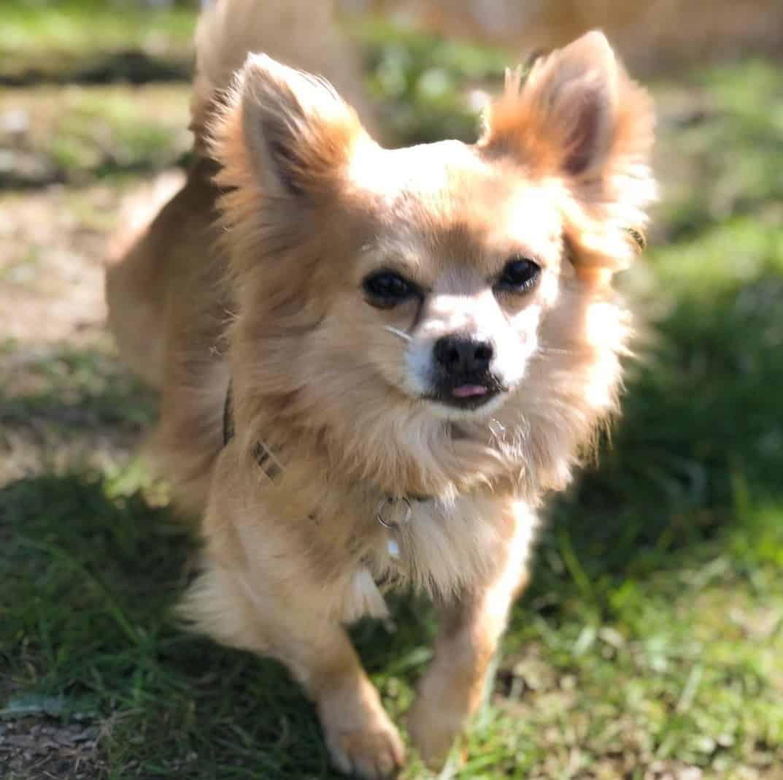 Pomeranian Chihuahua Mix (Pomchi) running