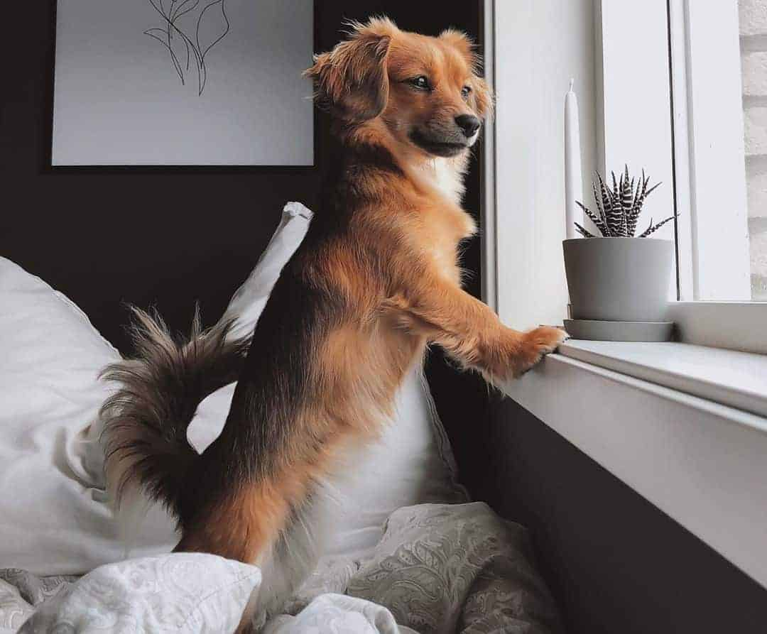 Pomeranian Dachshund Mix (Dameranian) looking outside through the window while standing straight