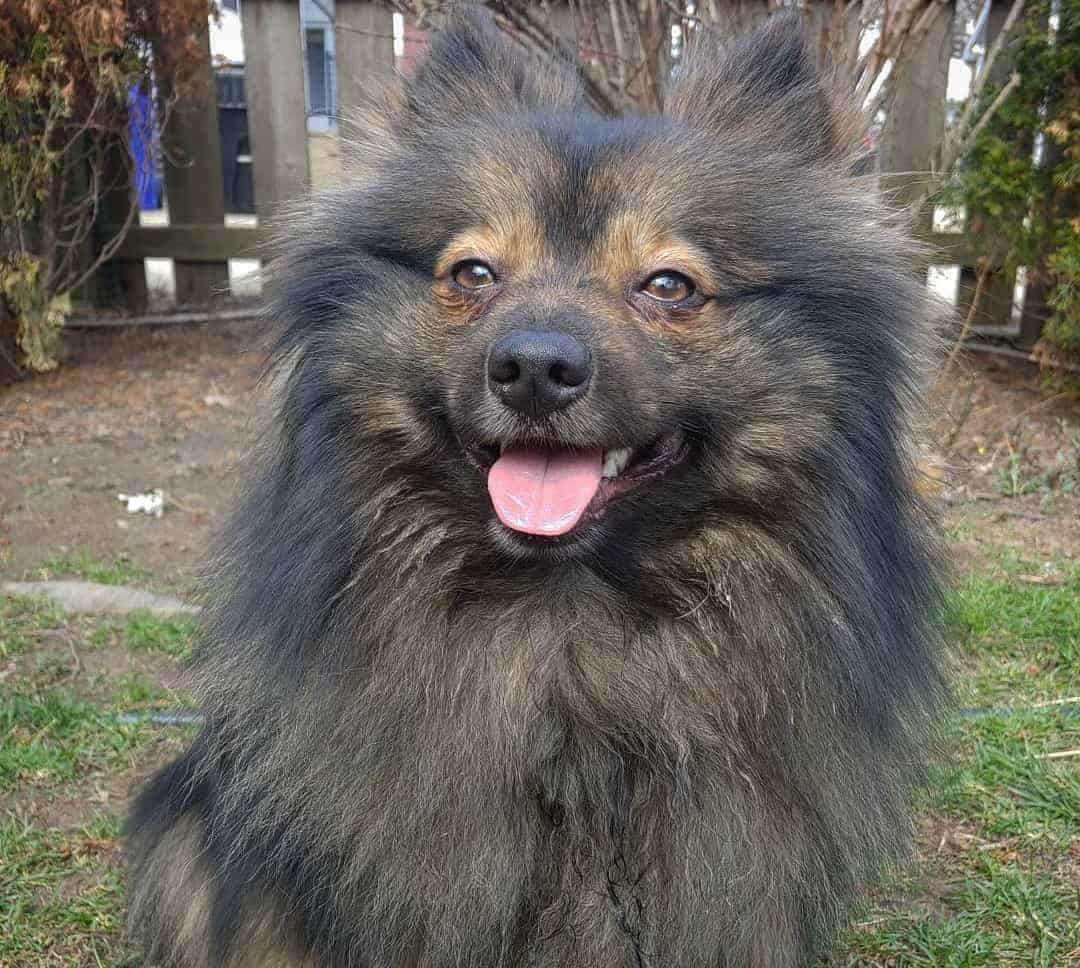 Pomeranian Keeshond Mix (Pom-Kee) with black and golden fur