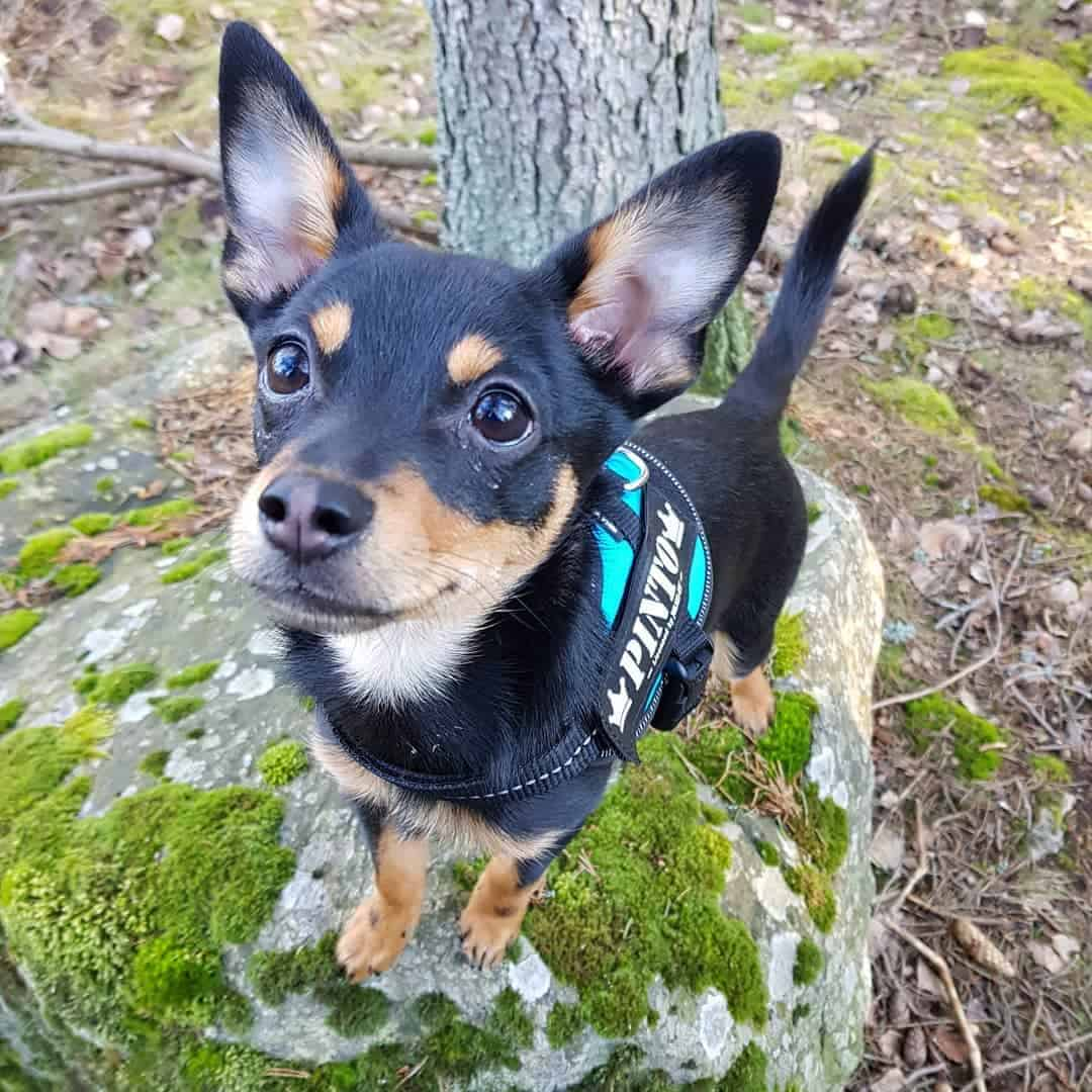 Pomeranian Miniature Pinscher Mix (Pineranian) standing on a stone