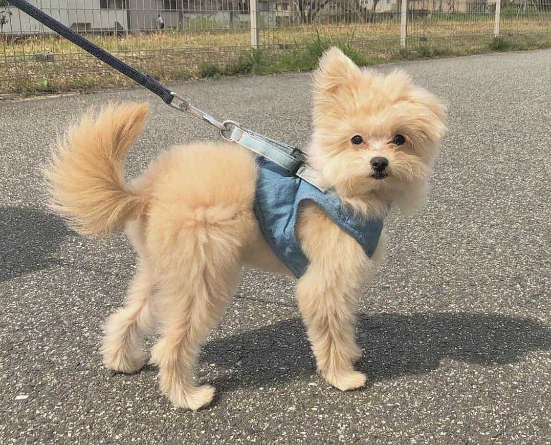 Pomeranian Poodle Mix (Pomapoo) going for walk on a leash