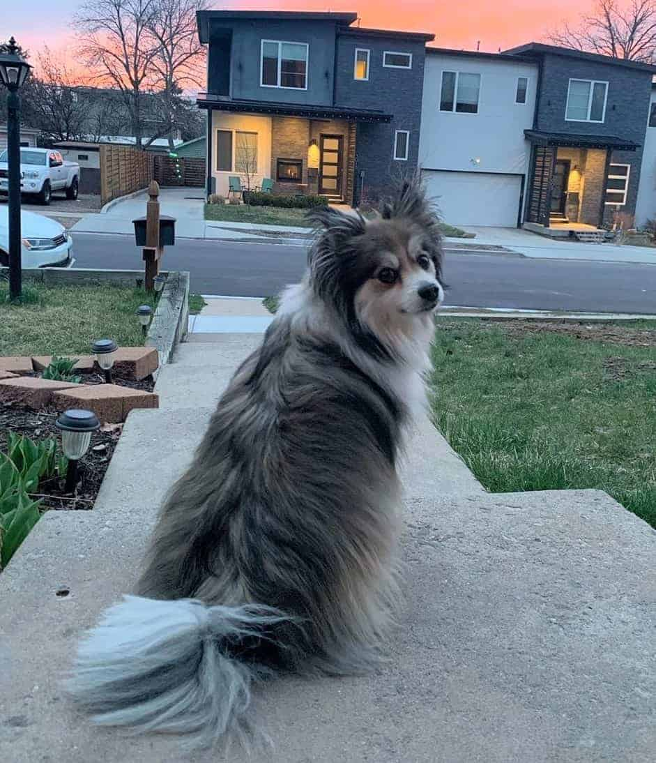 Pomeranian Sheltie Mix (Poshie) sitting outsite the door