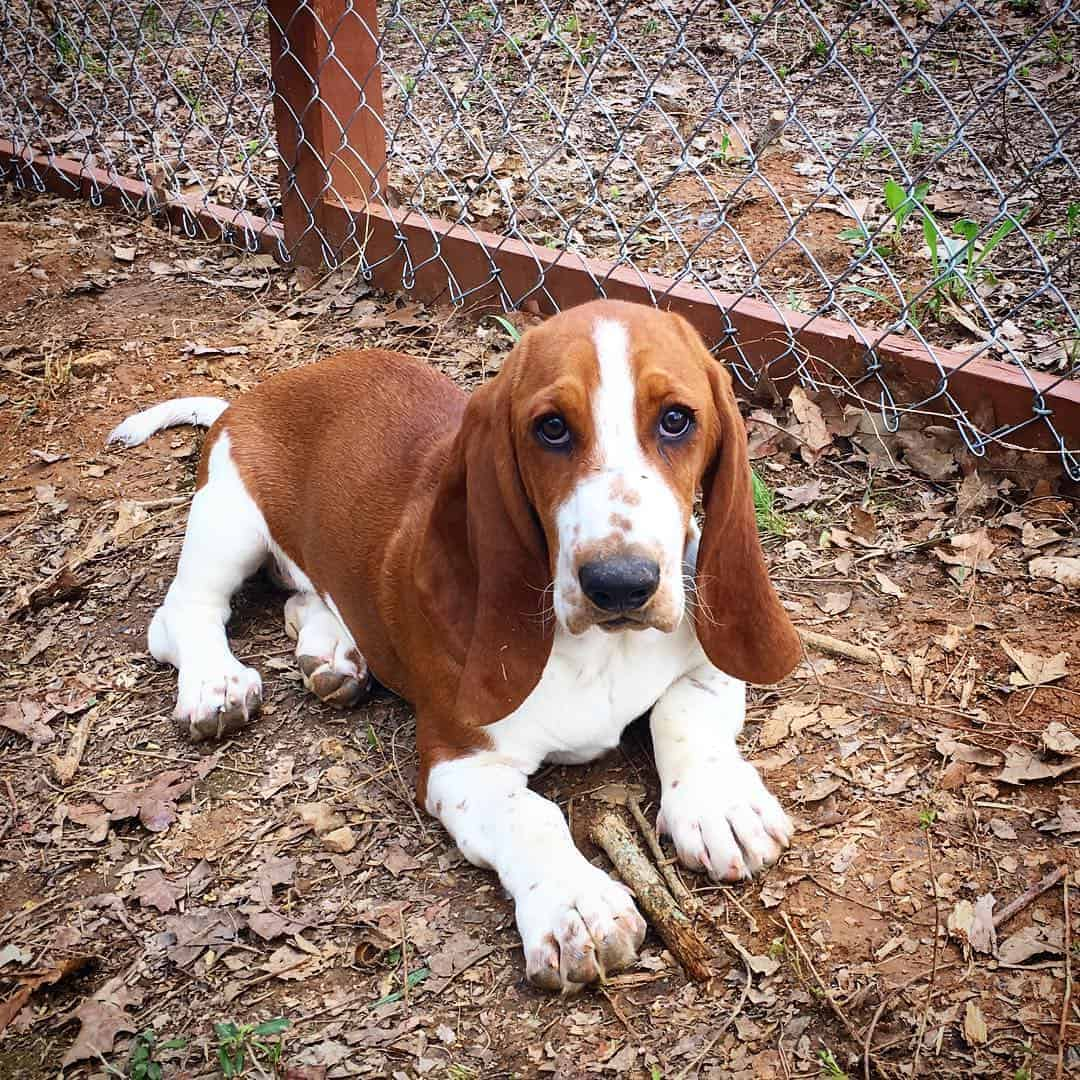 Red and white Basset Hound lying on the ground