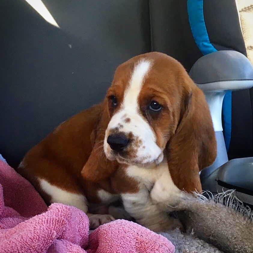 Red and white Basset Hound puppy