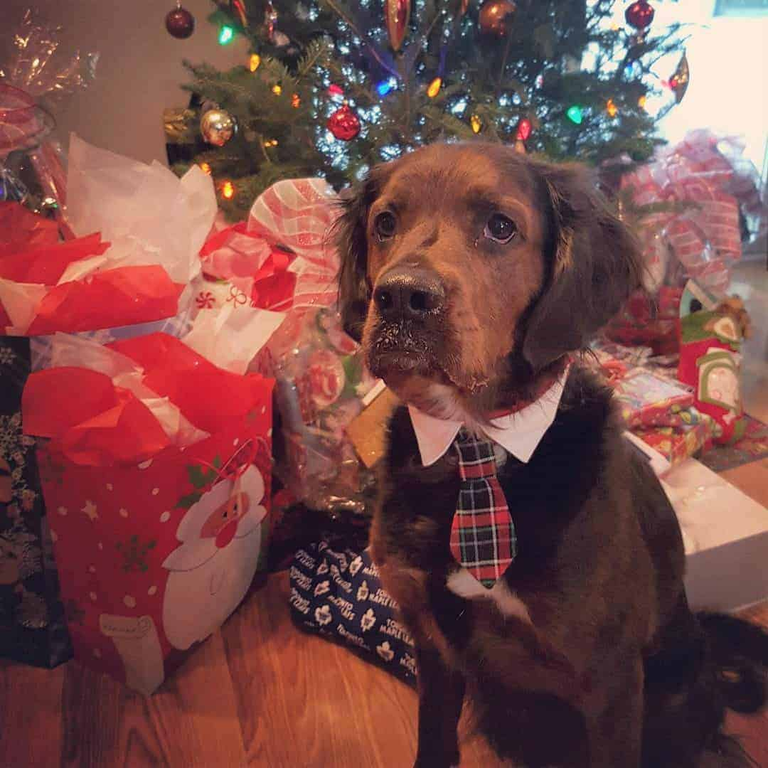Rottweiler Springer Spaniel Mix (Springer Rottie) during christmas season