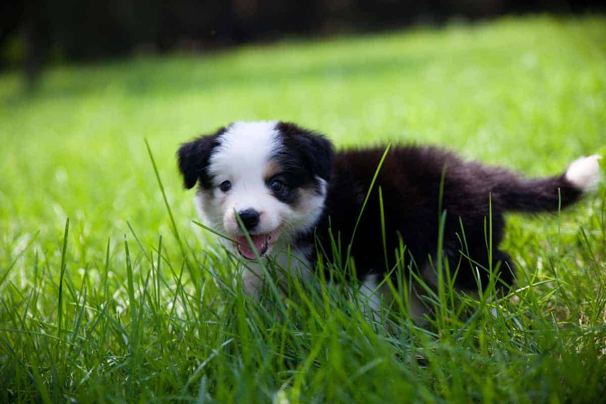 Small and cute Border Collie puppy walking on the grass