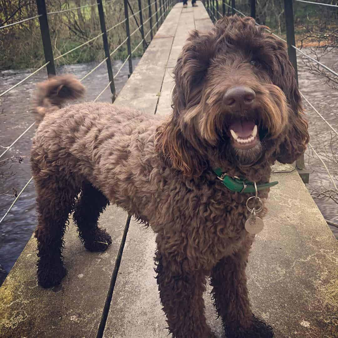 Springerdoodle (Sproodle) standing on a small bridge