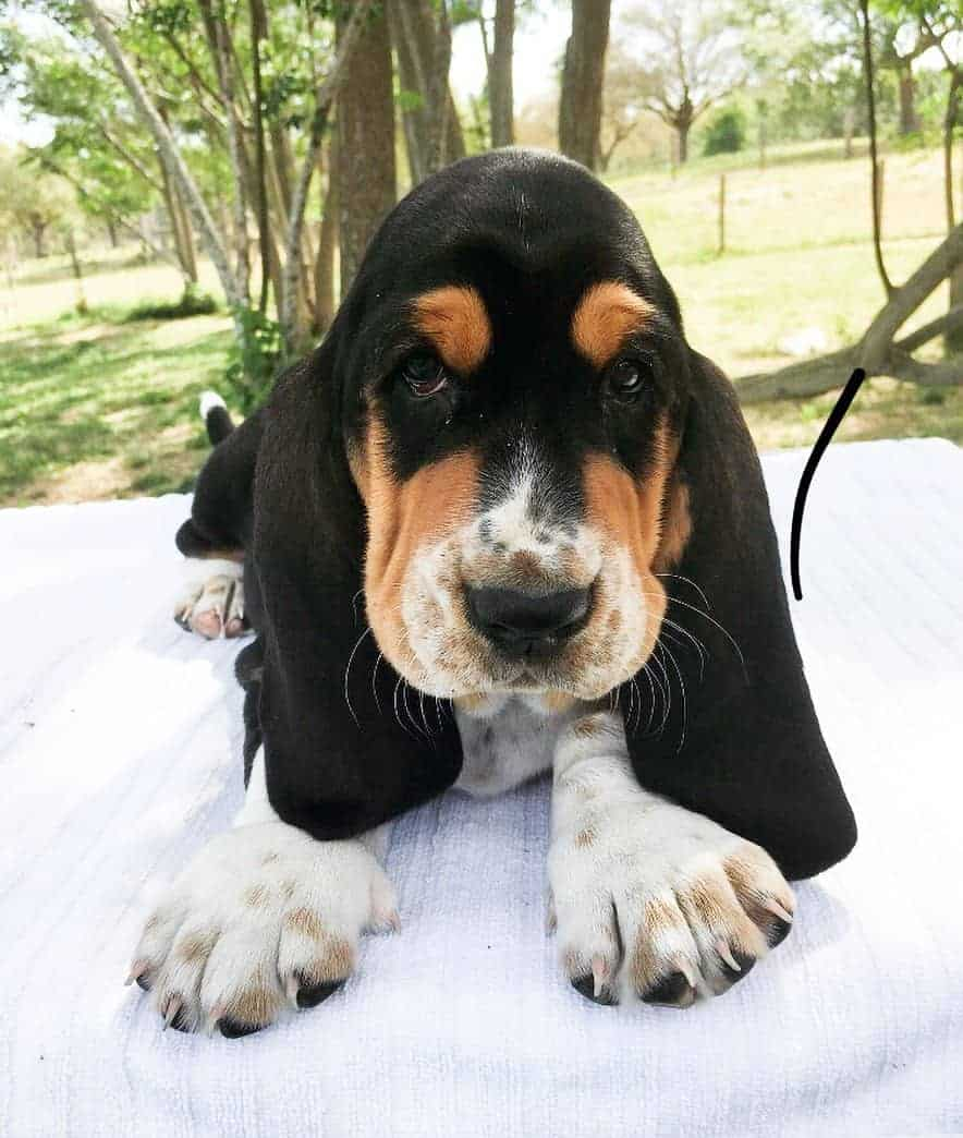 All The Colors And Markings Of Basset Hound With Pictures