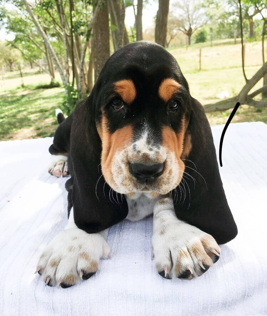 Tri-colored Basset Hound puppies