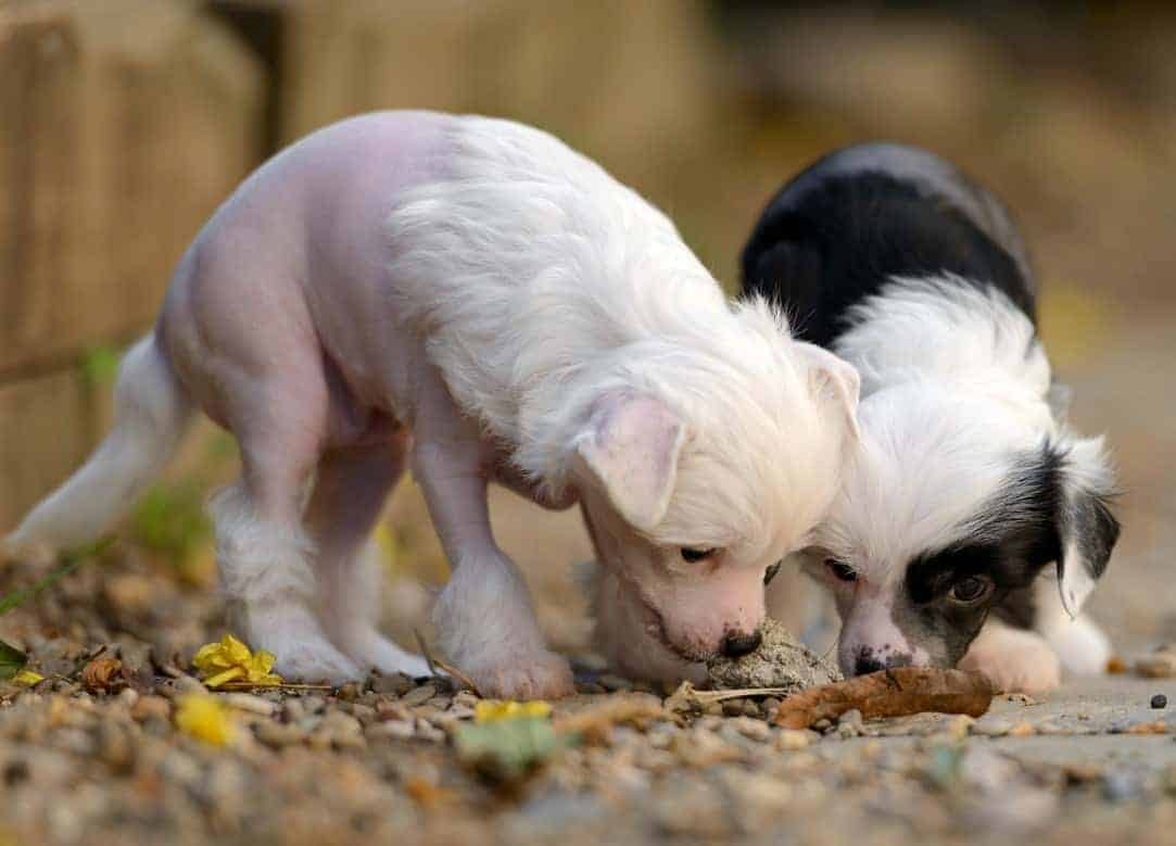 Two Chinese Crested puppies sniffing the ground