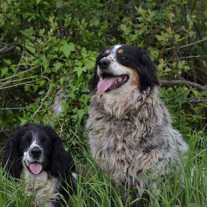 Two Springer Spaniel Sheepdogs playing on the grass