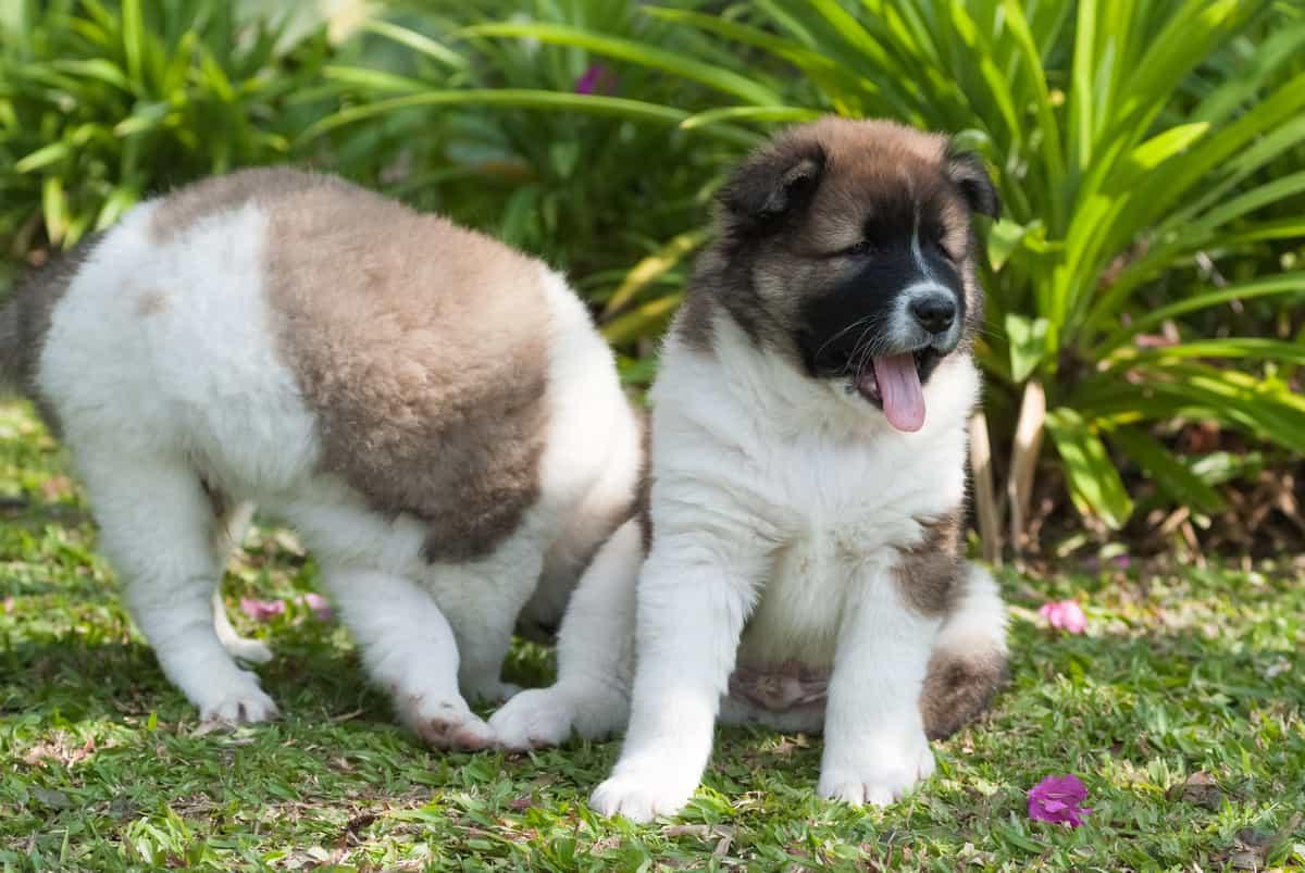 Two cute Saint Bernard puppies