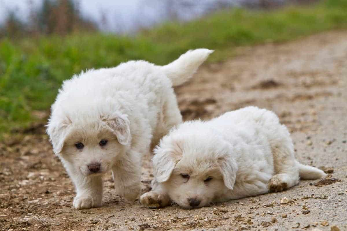 Two white Great Pyrenees puppies