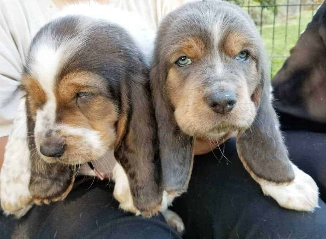 Two white, blue and tan Basset Hound puppy