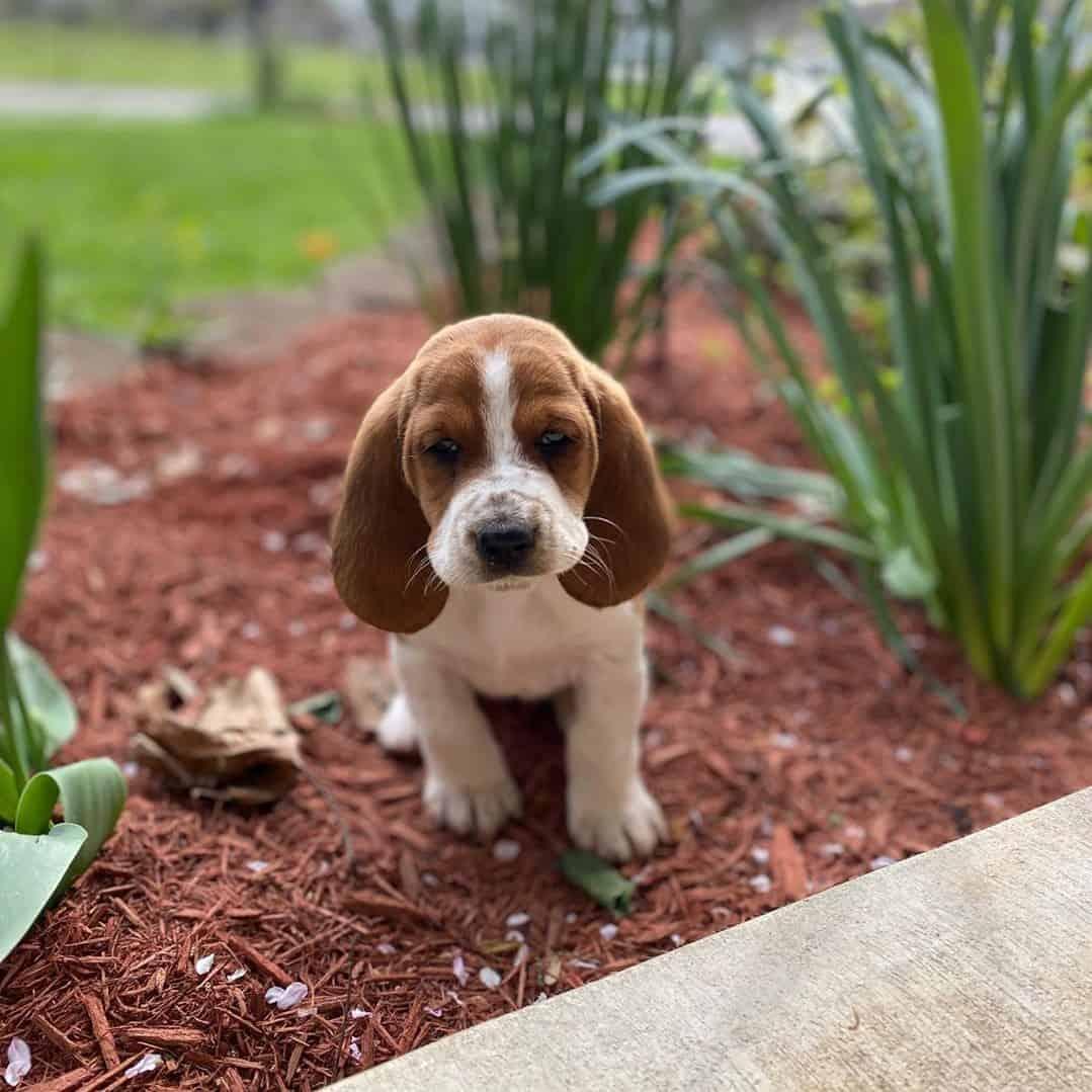 White and brown Basset Hound puppy