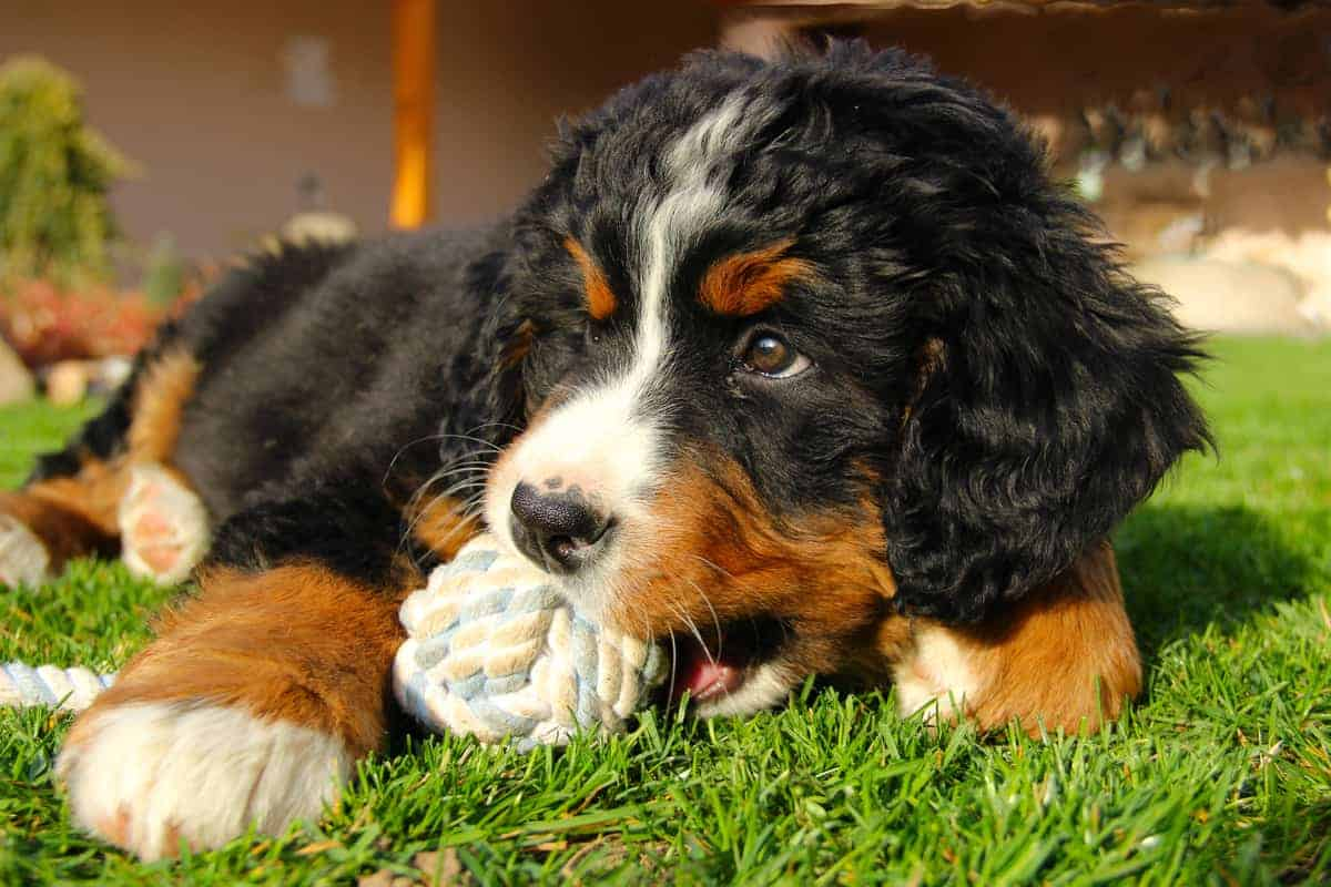 Bernese Mountain Dog puppy playing his toy