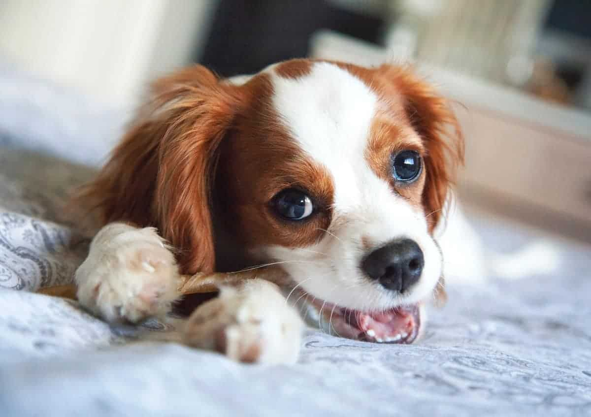 17 Places To Find Cavalier King Charles Spaniel Puppies For Sale