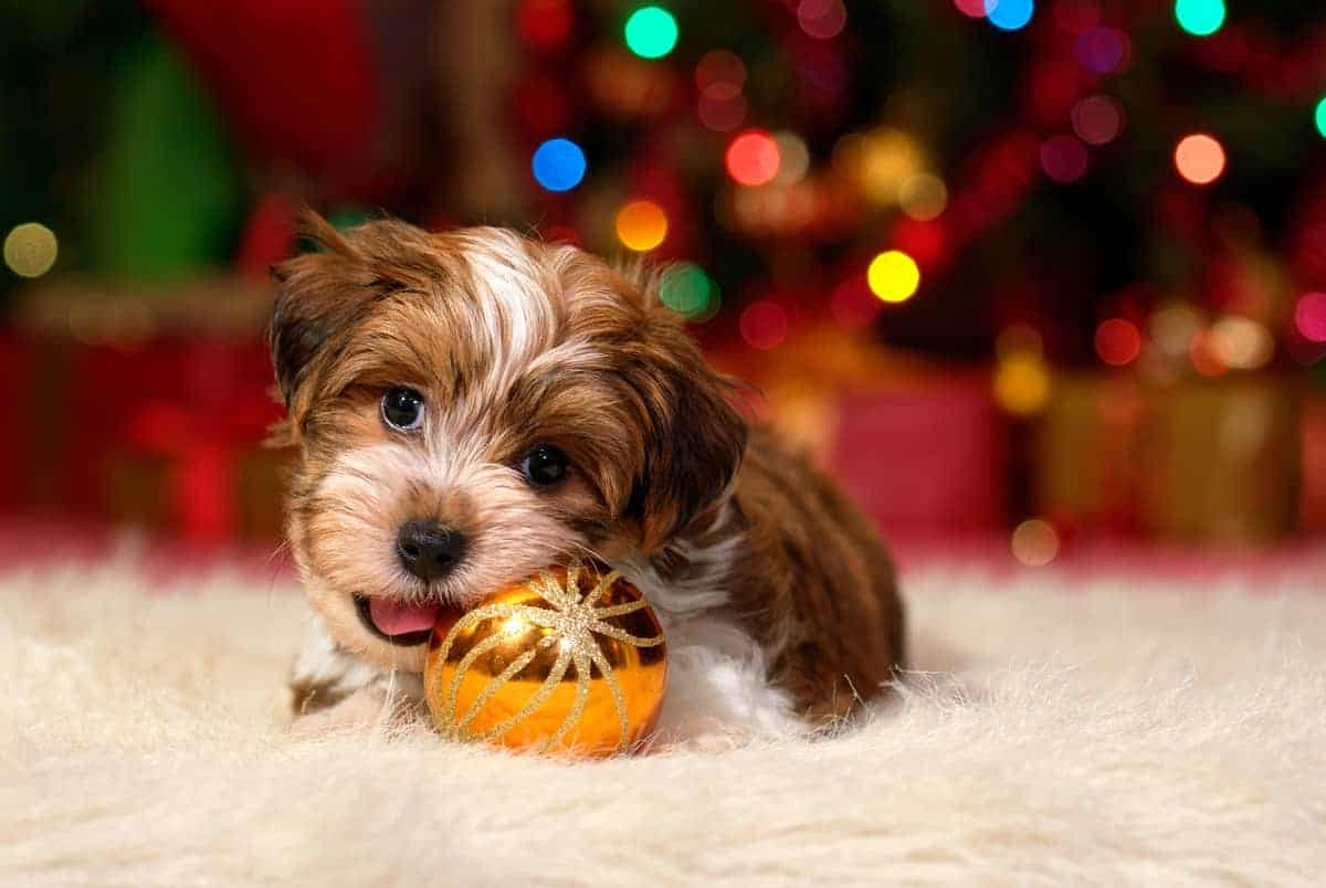 Cute Havanese puppy is playing with a christmas ornament