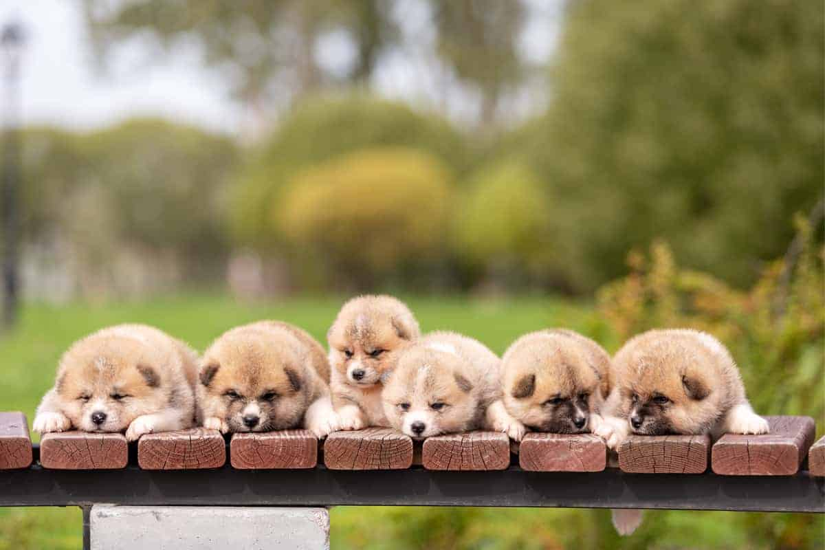 Red Japanese Akita puppies walking outdoor at park