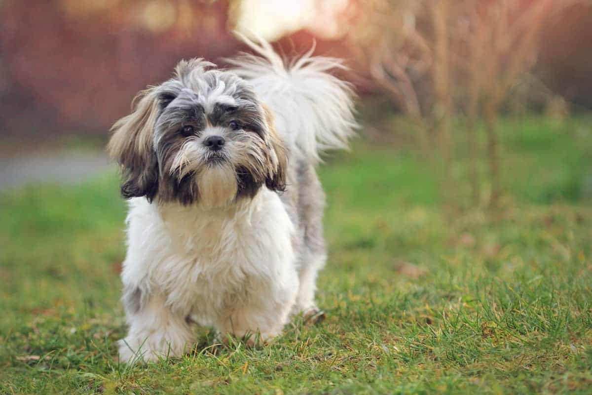 Cute Shih Tzu walking in the park