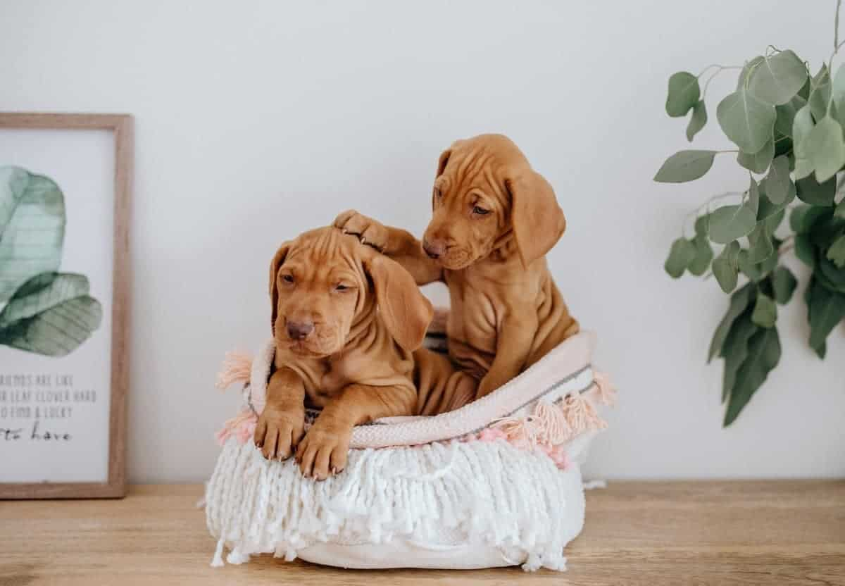 Cute Vizsla puppies in a woven bin