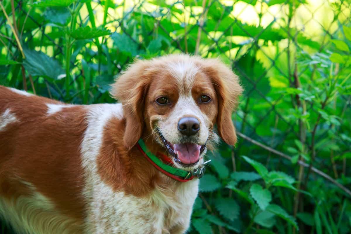 Female Brittany Spaniel dog
