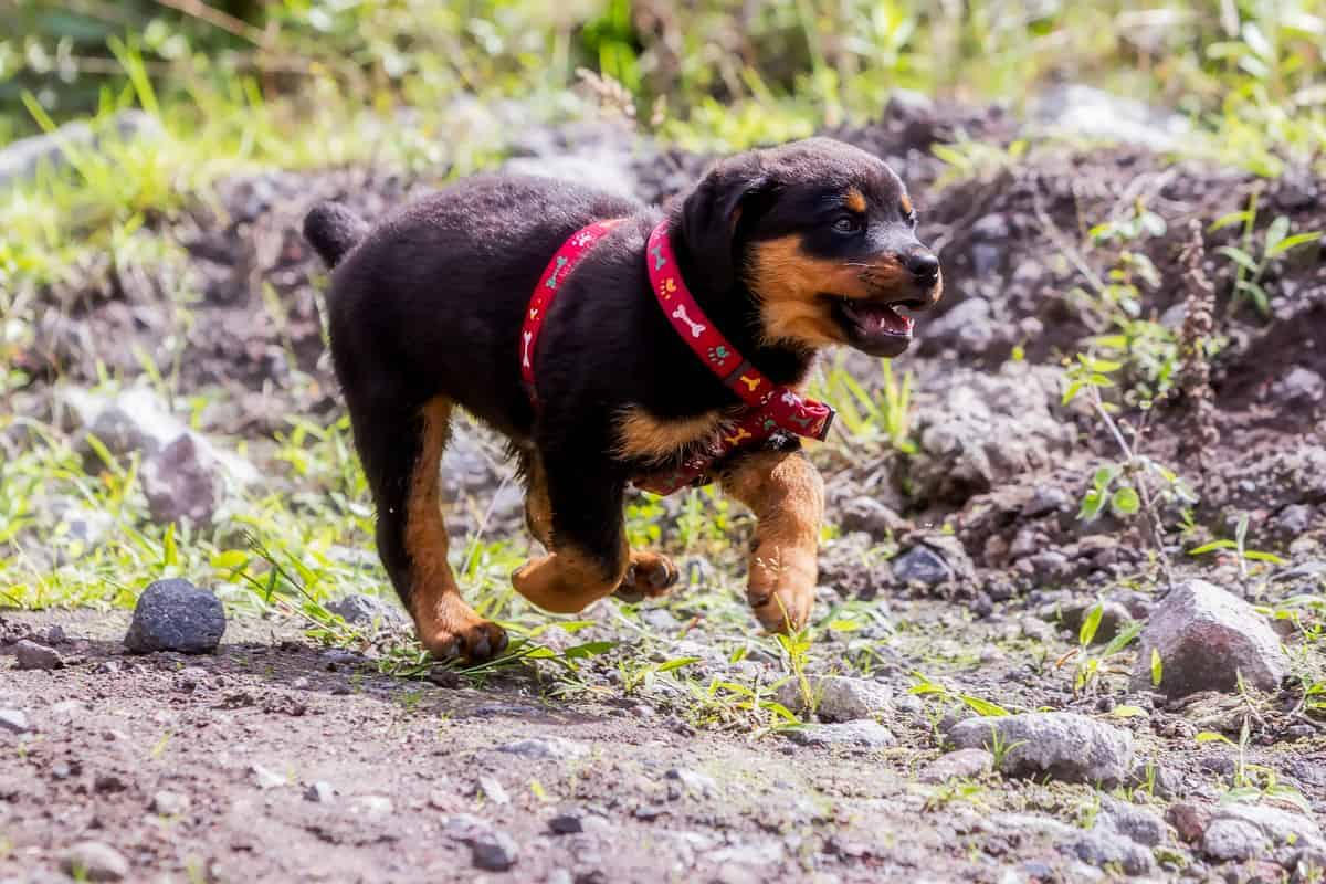 Happy one month Rottweiler puppy running in nature