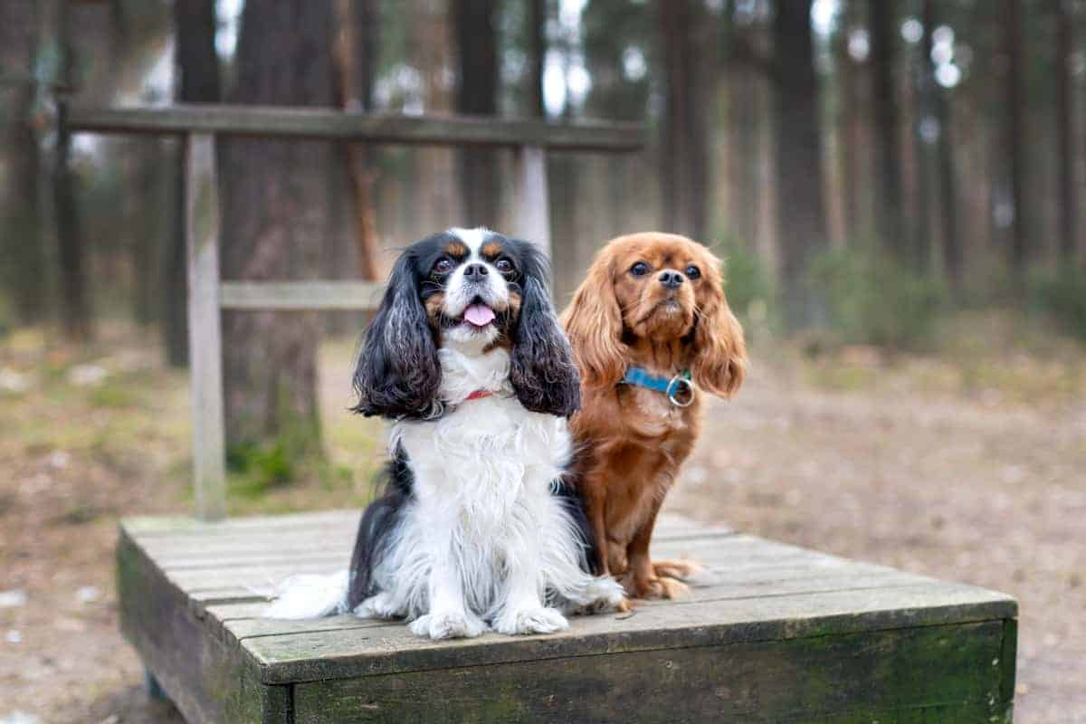 Male and female Cavalier King Charles Spaniels sitting