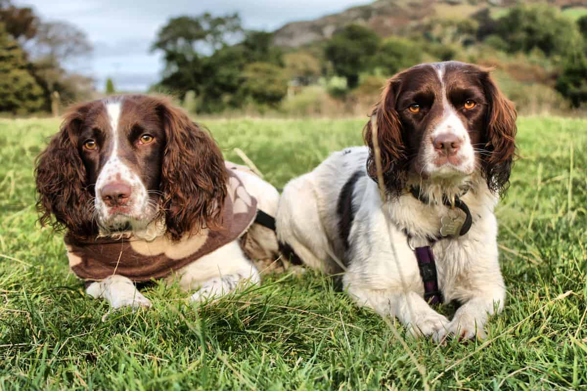 Male and female English Springer Spaniels lying on the grass
