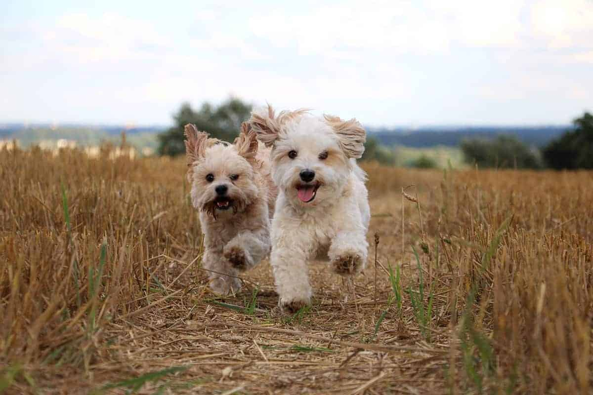 Male and female Havanese dogs running