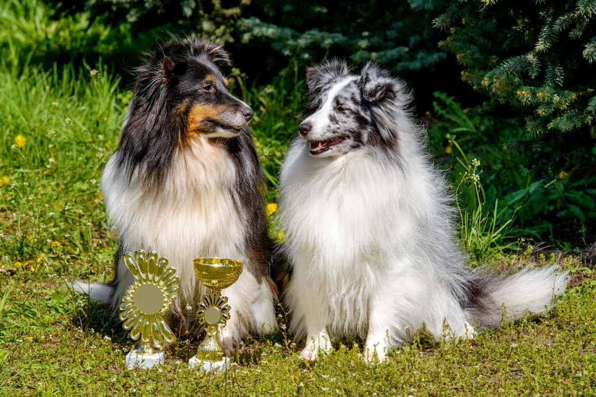 Male and female Shetland Sheepdogs looking at each other