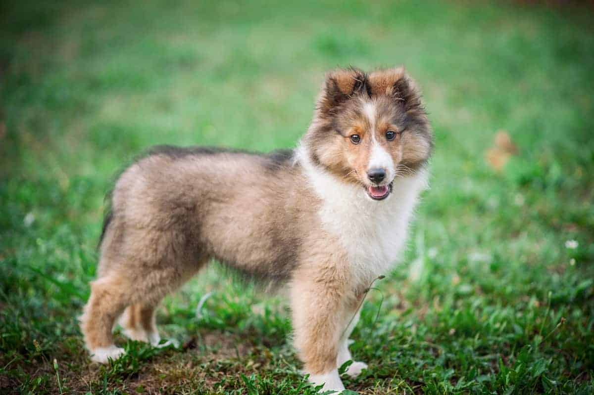 Shetland Sheepdog puppy standing on the grass