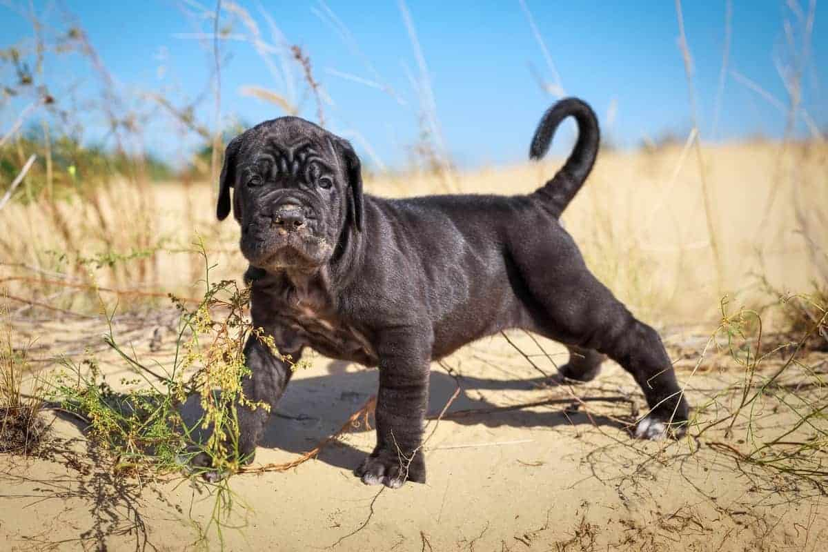 14 Places To Find Cane Corso Puppies For Sale Best To Worst