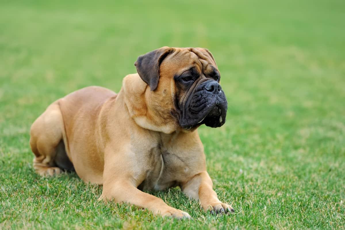 Full grown English Mastiff lying on the grass