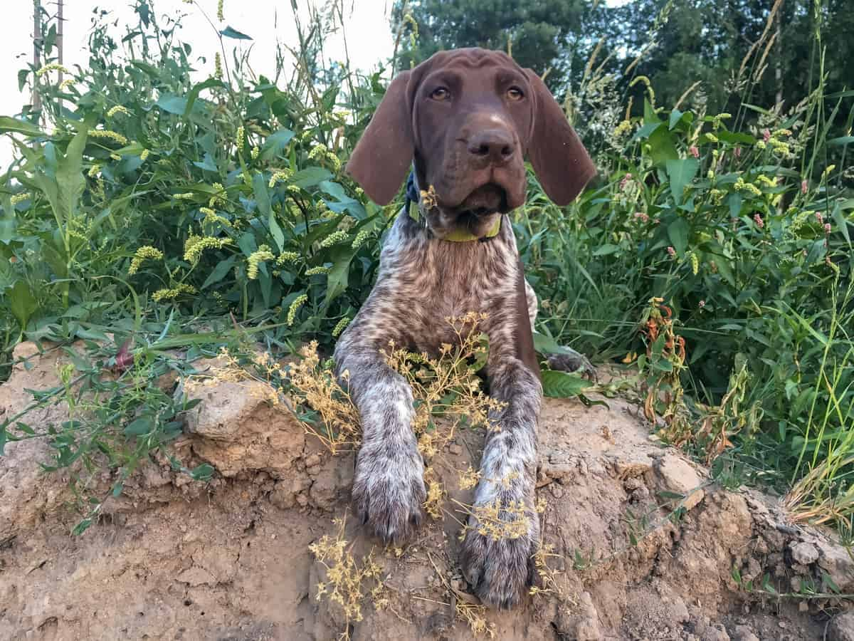 German Shorthaired Pointer outdoor