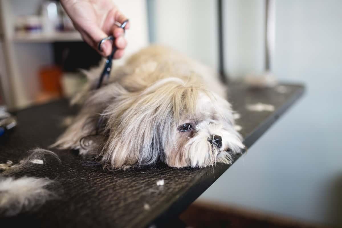 Lhasa Apso at grooming salon during shedding season