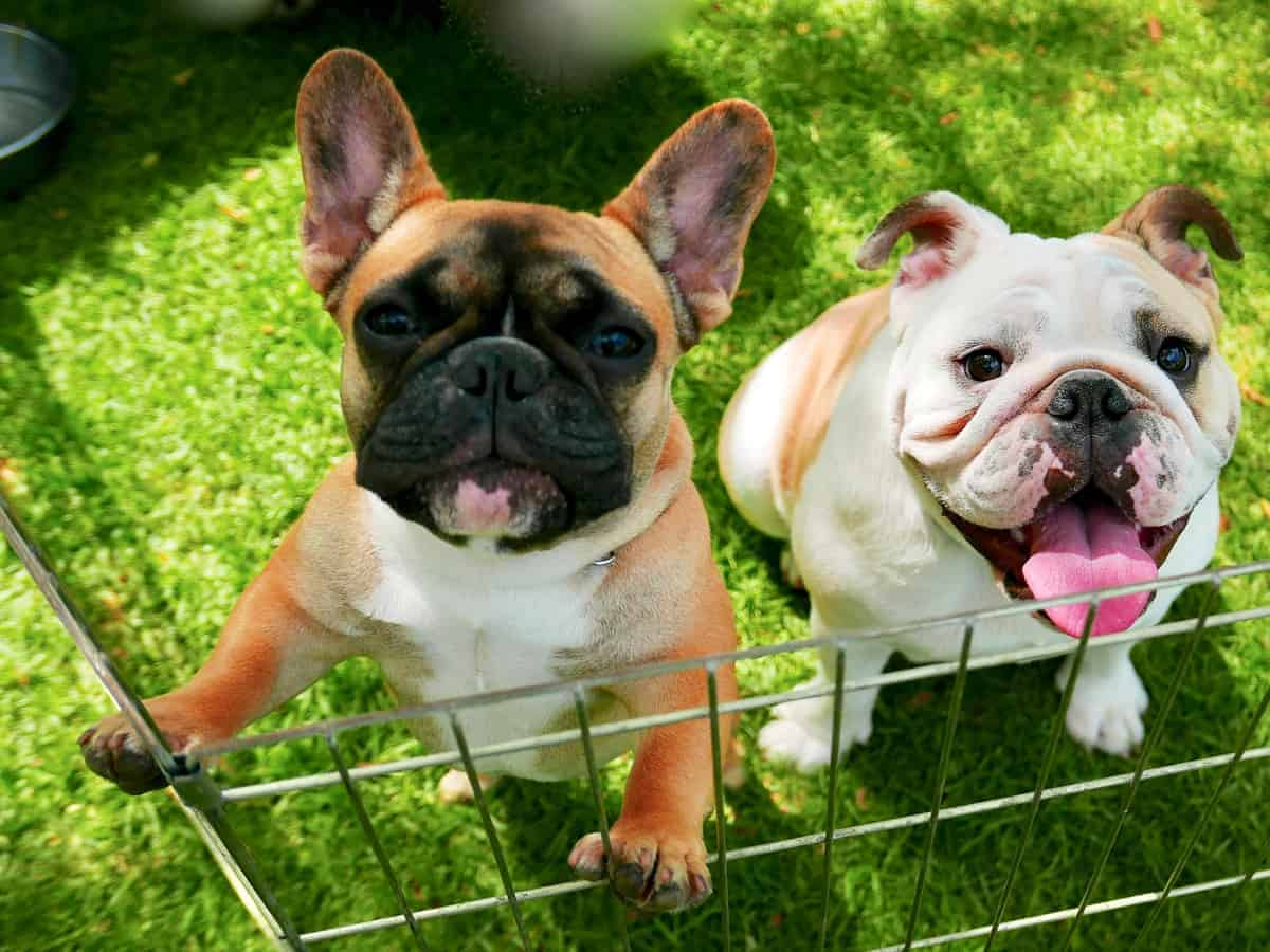 Male and female Bulldog puppies