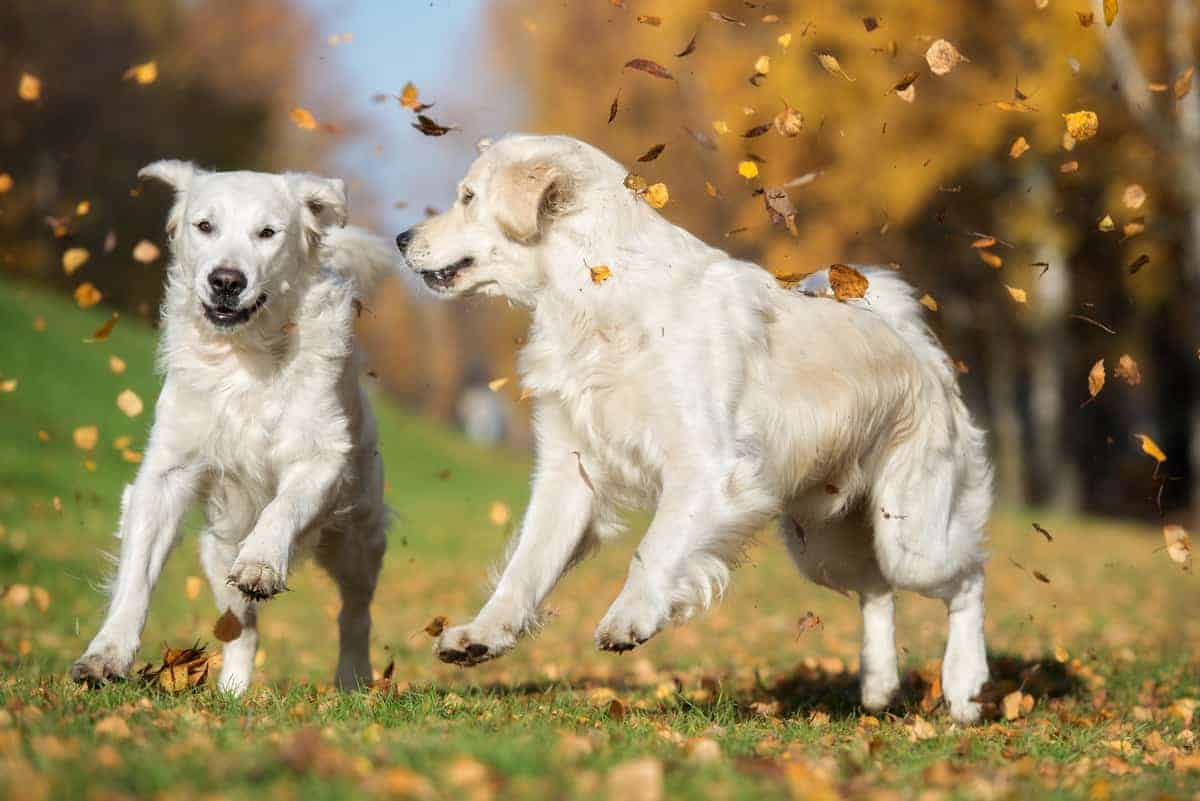 Male and female Golden Retrievers running together happily