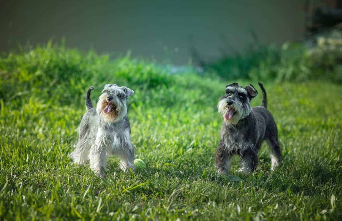 Male and female Miniature Schnauzers playing on the grass