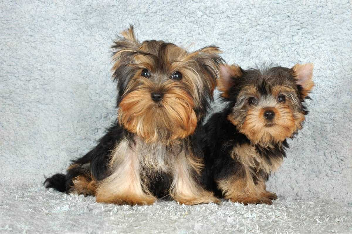 Male and female Yorkshire Terrier puppies sitting