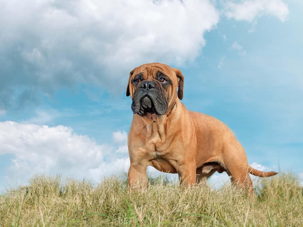 Muscular full grown Bullmastiff