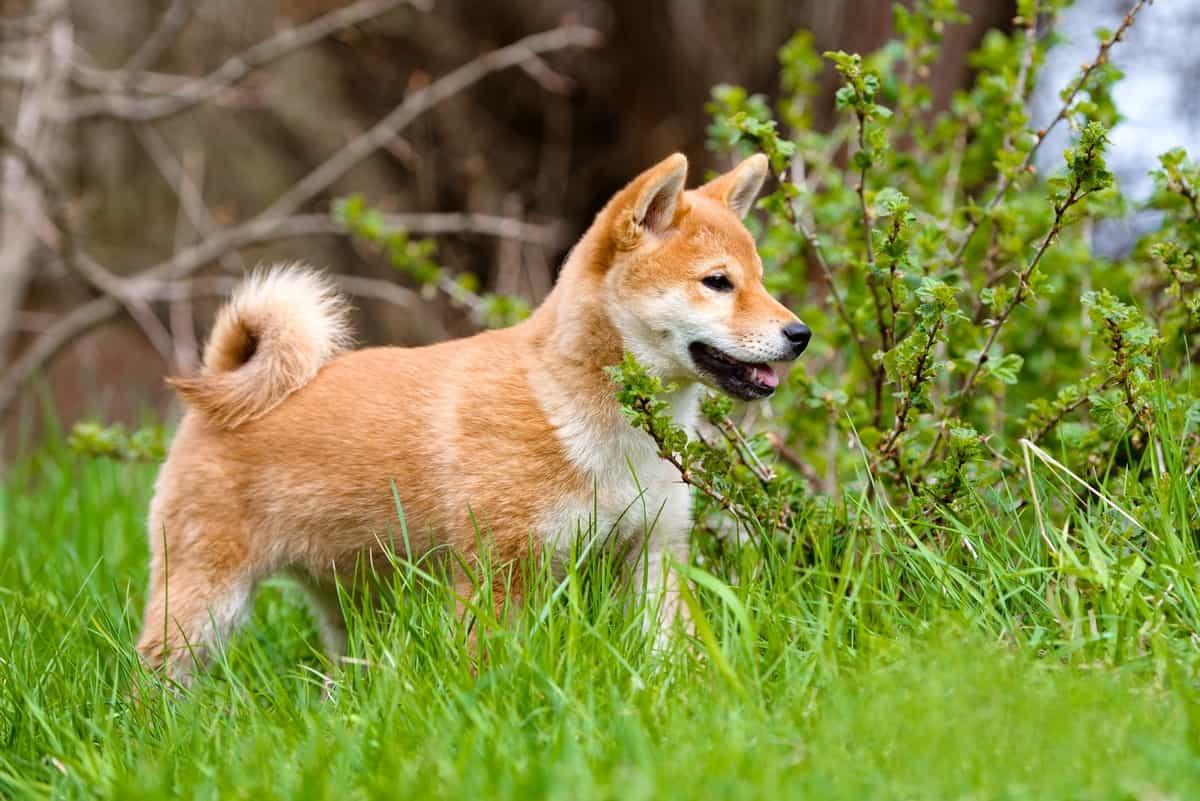 Shiba Inu puppy ourdoors