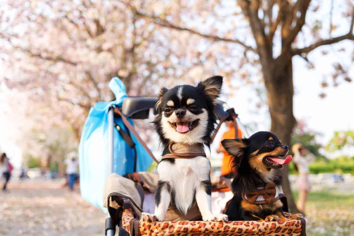 Two full grown Chihuahuas smiling in a stroller