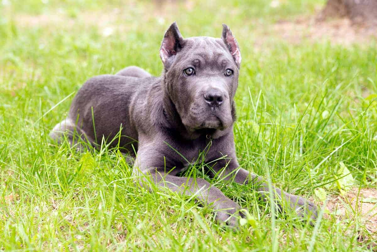 A Cane Corso puppy with cropped ears lying on grass