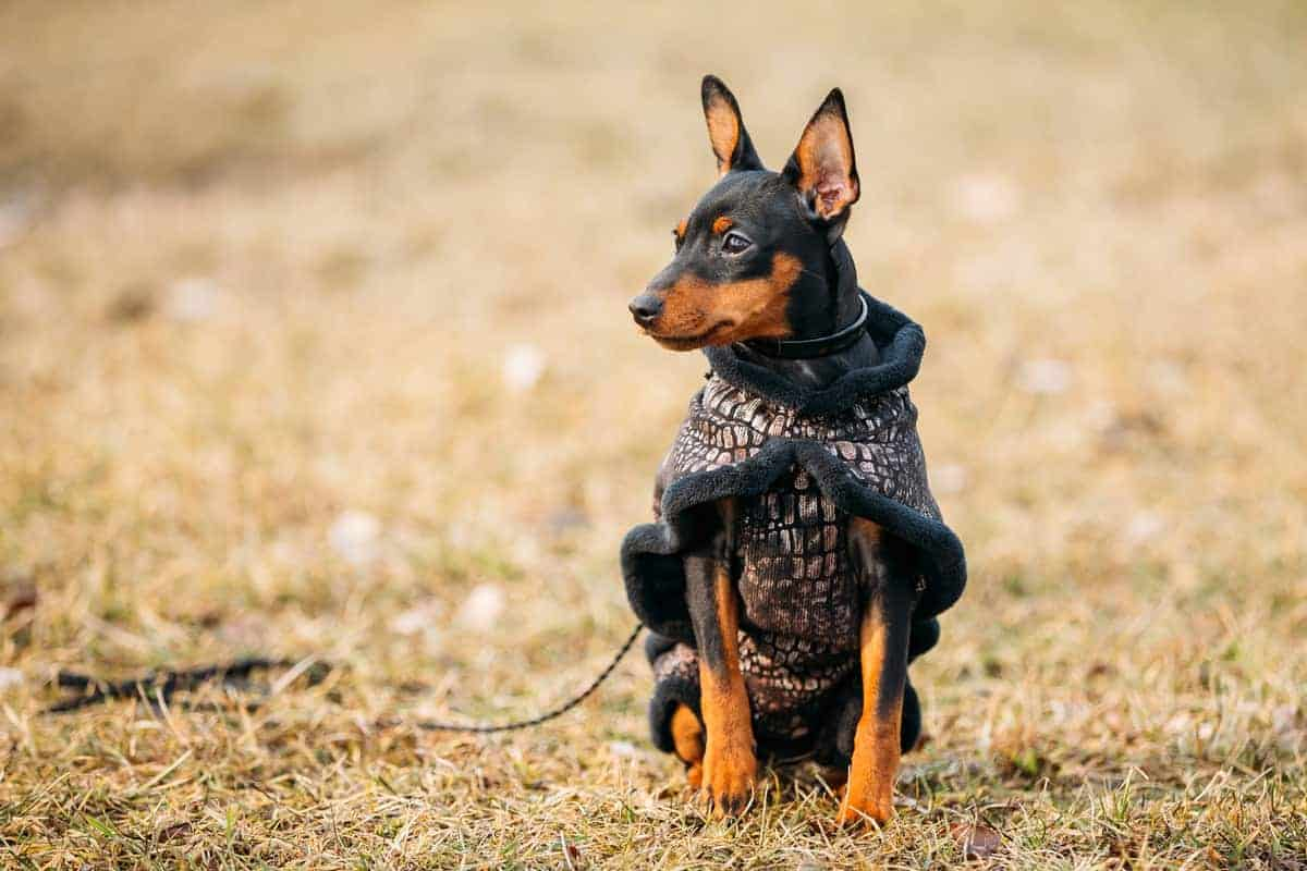 Black Miniature Pinscher with cropped ears